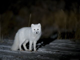 Arctic Fox, Alopex Lagopus, Churchill, Manitoba, Canada Photographic Print by Thorsten Milse