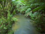Rainforest, Otway National Park, Victoria, Australia Photographic Print by Thorsten Milse