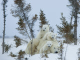 Polar Bear (Ursus Maritimus) Mother with Triplets, Wapusk National Park, Churchill, Manitoba Fotografisk trykk av Thorsten Milse