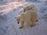 Polar Bears (Ursus Maritimus), Churchill, Hudson Bay, Manitoba, Canada Photographic Print by Thorsten Milse