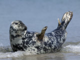 Gray Seal (Grey Seal), Halichoerus Grypus, Heligoland, Germany Photographic Print by Thorsten Milse