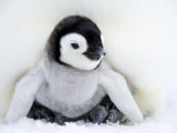 Emperor Penguin Chick (Aptenodytes Forsteri), Snow Hill Island, Weddell Sea, Antarctica Photographic Print by Thorsten Milse