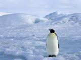 Emperor Penguin (Aptenodytes Forsteri), Snow Hill Island, Weddell Sea, Antarctica, Polar Regions Photographic Print by Thorsten Milse