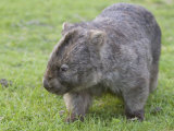 Wombat (Vombatus Ursinus), Wilsons Promontory National Park, Victoria, Australia Photographic Print by Thorsten Milse