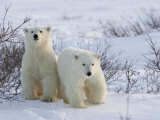 Polar Bear Cubs (Ursus Maritimus), Churchill, Hudson Bay, Manitoba, Canada Photographie par Thorsten Milse