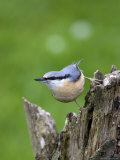 Eurasian Nuthatch (Sitta Europaea), Bielefeld, Germany Reproduction photographique par Thorsten Milse