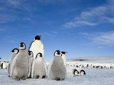 Emperor Penguin (Aptenodytes Forsteri) and Chicks, Snow Hill Island, Weddell Sea, Antarctica Fotografisk tryk af Thorsten Milse
