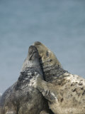 Gray Seal (Halichoerus Grypus), Heligoland, Germany Photographic Print by Thorsten Milse