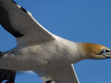 Cape Gannet, Morus Capensis, Bird Island, Lambert&#39;s Bay, South Africa, Africa Photographie par Thorsten Milse
