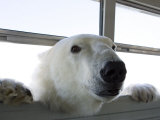 Polar Bear (Ursus Maritimus), Churchill, Hudson Bay, Manitoba, Canada Papier Photo par Thorsten Milse