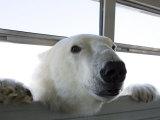 Polar Bear (Ursus Maritimus), Churchill, Hudson Bay, Manitoba, Canada Lámina fotográfica por Thorsten Milse