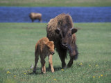 Bison and Calf, Yellowstone National Park, Wyoming, USA Photographic Print by James Gritz