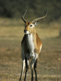 Red Lechwe, Kobus Leche Leche, Moremi Wildlife Preserve, Botswana, Africa Photographic Print by Thorsten Milse