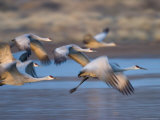 Sandhill Cranes, Grus Canadensis, Bosque Del Apache, Socorro, New Mexico, USA Photographic Print by Thorsten Milse