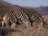 Zebras Grazing, Kenya, East Africa, Africa Photographic Print by James Gritz