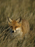 Red Fox, Vulpes Vulpes, Fischland, Mecklenburg-Vorpommern, Germany Photographic Print by Thorsten Milse