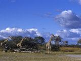 Giraffe, Giraffa Camelopardalis, Moremi Wildlife Reserve, Botswana, Africa Photographic Print by Thorsten Milse