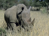 White Rhinoceros, Ceratotherium Simum, Namibia, Africa Photographic Print by Thorsten Milse