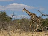 Giraffe, Giraffa Camelopardalis, Chobe National Park, Botswana, Africa Photographic Print by Thorsten Milse