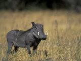 Warthog, Phacochoerus Africanus, Chobe National Park, Savuti, Botswana, Africa Photographic Print by Thorsten Milse