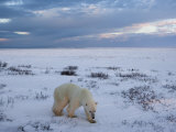Polar Bears (Ursus Maritimus), Churchill, Hudson Bay, Manitoba, Canada Photographic Print by Thorsten Milse