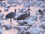 Sandhill Cranes and Snow Geese, Bosque Del Apache, Socorro, New Mexico, USA Photographic Print by Thorsten Milse