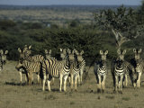 Burchell&#39;s Zebra, Equus Burchelli, Namibia, Africa Photographic Print by Thorsten Milse