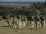 Burchell's Zebra, Equus Burchelli, Namibia, Africa Photographic Print by Thorsten Milse