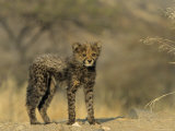 Cheetah Cub, Acinonyx Jubatus, Duesternbrook Private Game Reserve, Windhoek, Namibia, Africa Photographic Print by Thorsten Milse