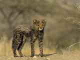 Cheetah Cub, Acinonyx Jubatus, Duesternbrook Private Game Reserve, Windhoek, Namibia, Africa Photographic Print by Thorsten Milse