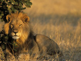 Lion, Panthera Leo, Chobe National Park, Savuti, Botswana, Africa Photographic Print by Thorsten Milse