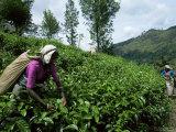 Tea Pluckers Working in a Plantation Near Ella, Sri Lanka Photographic Print by Yadid Levy