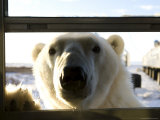 Polar Bear (Ursus Maritimus), Churchill, Hudson Bay, Manitoba, Canada Photographie par Thorsten Milse