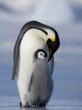 Emperor Penguin (Aptenodytes Forsteri) and Chick, Snow Hill Island, Weddell Sea, Antarctica Photographic Print by Thorsten Milse