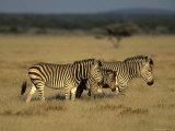 Hartman's Mountain Zebra, Equus Zebra Hartmannae, Damaraland, Namibia, Africa Photographic Print by Thorsten Milse