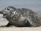 Gray Seal (Halichoerus Grypu), Heligoland, Germany Photographic Print by Thorsten Milse
