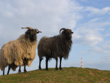 Domestic Sheep, Heligoland, Germany Photographic Print by Thorsten Milse