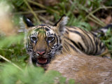 Indian Tiger, Cub at the Samba Deer Kill, Bandhavgarh National Park, India Photographic Print by Thorsten Milse