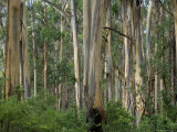 Eucalyptus Trees, Great Ocean Road, Victoria, Australia Photographic Print by Thorsten Milse
