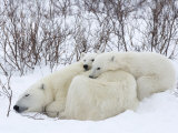 Polar Bears (Ursus Maritimus), Churchill, Hudson Bay, Manitoba, Canada Papier Photo par Thorsten Milse