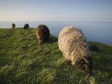Domestic Sheep, Heligoland, Germany Photographie par Thorsten Milse