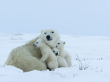 Polar Bear (Ursus Maritimus) Mother with Triplets, Wapusk National Park, Churchill, Manitoba Lámina fotográfica por Thorsten Milse