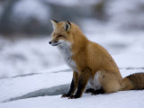 Red Fox, Vulpes Vulpes, Churchill, Manitoba, Canada Photographic Print by Thorsten Milse