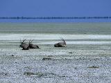 Oryx, Gemsbok, Oryx Gazella, Etosha National Park, Namibia, Africa Photographic Print by Thorsten Milse