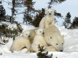 Polar Bear (Ursus Maritimus) Mother with Triplets, Wapusk National Park, Churchill, Manitoba Papier Photo par Thorsten Milse