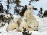 Polar Bear (Ursus Maritimus) Mother with Triplets, Wapusk National Park, Churchill, Manitoba Reprodukcja zdjęcia autor Thorsten Milse