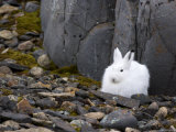 Snow Hare, Lepus Americanus, Churchill, Manitoba, Canada Photographic Print by Thorsten Milse