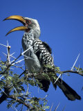 Yellow Billed Hornbill (Tockus Flavirostris), Etosha National Park, Namibia, Africa Photographic Print by Thorsten Milse