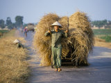 Man with Freshly Harvested Rice on Cart in the Ricefields of Bac Thai Province Photographic Print by Robert Francis