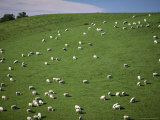 Sheep Grazing on Downs Near Geraldine at the South Western End of the Canterbury Plains Photographic Print by Robert Francis